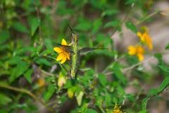 Рубин-Throated колибри Стоковые Изображения