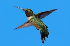 Рубин-throated колибри (colubris Архилоха) Стоковые Фото