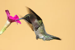 Рубин-throated колибри (colubris Архилоха) Стоковое Изображение RF