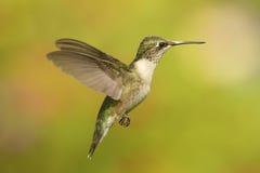 Рубин-throated колибри & x28; colubris& x29 Архилоха; Стоковые Изображения
