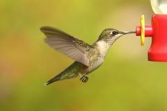 Рубин-throated колибри & x28; colubris& x29 Архилоха; Стоковые Фотографии RF