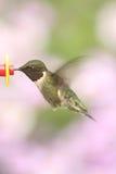 Рубин-throated колибри & x28; colubris& x29 Архилоха; Стоковое Изображение