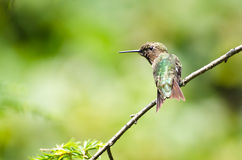 Рубин-Throated Hummingbird садился на насест в вале Стоковое Изображение RF