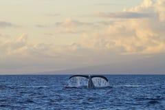 Рубрика горбатого кита к сплотку пока на вахте кита около Lahaina на Мауи Стоковая Фотография