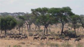 Рубрика табуна зебры для воды Тома Wurl Стоковое Изображение RF
