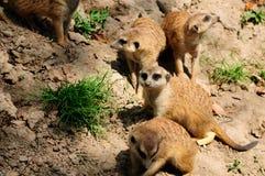 2 других младенца наблюдаемым членом meerkat семьи группы Стоковое Изображение