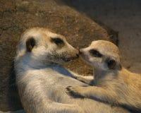 2 других младенца наблюдаемым членом meerkat семьи группы Стоковое Фото
