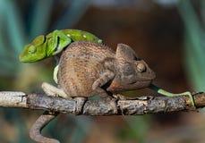 2 другого цвета хамелеона сидя на ветви Мадагаскар Стоковые Фотографии RF