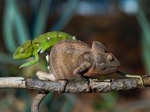 2 другого цвета хамелеона сидя на ветви Мадагаскар Стоковые Изображения RF