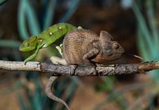 2 другого цвета хамелеона сидя на ветви Мадагаскар Стоковое фото RF