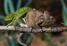 2 другого цвета хамелеона сидя на ветви Мадагаскар Стоковое Изображение