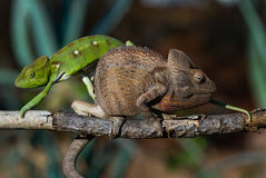2 другого цвета хамелеона сидя на ветви Мадагаскар Стоковое Фото