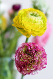2 другого цвета цветка лютика Стоковая Фотография