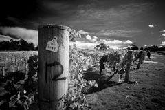 рудоразборка виноградины Стоковое Фото