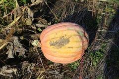 Рудоразборка тыквы Стоковое Изображение RF