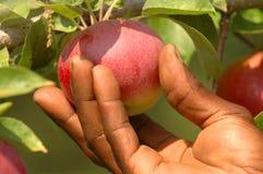 рудоразборка яблока Стоковое Изображение
