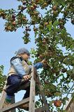рудоразборка яблока стоковое фото rf