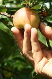 рудоразборка яблока Стоковые Изображения