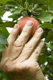 рудоразборка яблока Стоковые Фотографии RF