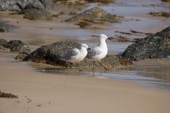 2 дружелюбных белых чайки идя на влажный песчаный пляж. Стоковые Фото