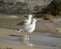 2 дружелюбных белых чайки стоя на влажном песчаном пляже. Стоковая Фотография