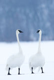 2 дружелюбных лебедя трубача Стоковые Изображения RF