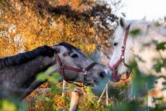 2 дружелюбных лошади играя друг с другом Стоковое фото RF