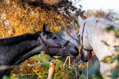 2 дружелюбных лошади играя друг с другом Стоковое Изображение RF