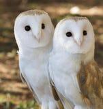 2 друз сычей Стоковая Фотография RF