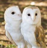 2 друз сычей Стоковое Фото