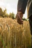 Рука бизнесмена касаясь зрея уху пшеницы стоковая фотография