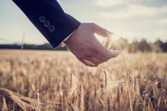 Рука бизнесмена касаясь зрелому уху пшеницы стоковое фото