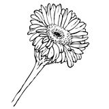 Рука вектора рисуя черно-белый цветок gerbera Стоковое Изображение