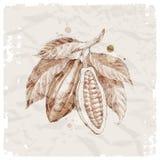 рука ветви фасолей нарисованная какао Стоковая Фотография RF