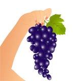 рука виноградины Стоковое Изображение RF