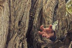 Рука внутри старого оливкового дерева Стоковые Фотографии RF