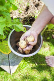 Рука выбирая предыдущие картошки Стоковые Изображения