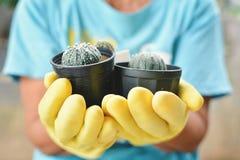 Рука в желтой перчатке держа группу в составе кактус Стоковые Изображения