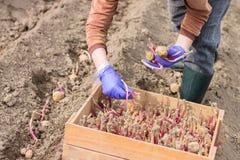 Рука в перчатке засаживает картошку в землю Стоковое Фото