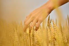 Рука в поле пшеницы Стоковые Изображения