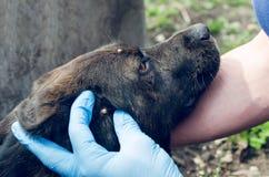 Рука в резиновой перчатке и тикание в коже собаки стоковые изображения rf