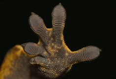 Рука гекконовых Стоковые Фото
