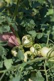 рука девушки зеленая показывает томаты Стоковые Изображения