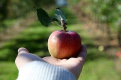 Рука держа вне яблоко стоковое фото rf