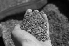 Рука держа крупный план зерен риса черно-белый стоковое фото