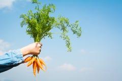 рука держа свежую морковь младенца Стоковые Изображения RF