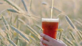 Рука держит стекло в котором льет от темной пивной бутылки на фоне ячменя или пшеницы в поле видеоматериал