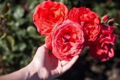 Рука достигает для букета роз на ветви Стоковое Изображение