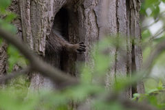 Рука енота (lotor проциона) достигая от ствола дерева стоковые изображения rf