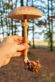 Рука держа гриб парасоля Стоковая Фотография RF